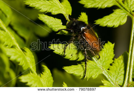 Phyllopertha Stock Photos, Images, & Pictures.
