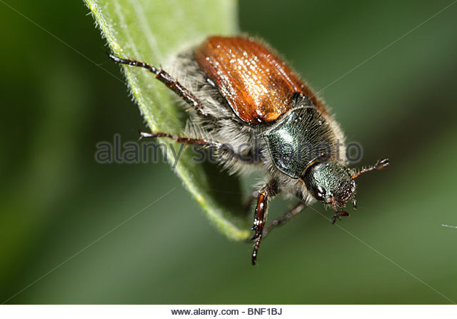 Garden Chafer Leaf Stock Photos & Garden Chafer Leaf Stock Images.