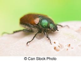 Stock Photographs of Phyllopertha horticola csp14421695.