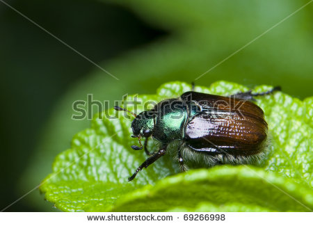Phyllopertha Horticola Stock Photos, Royalty.