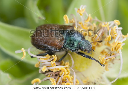 Garden Foliage Beetle, Phyllopertha Horticola, This Beetle Is.