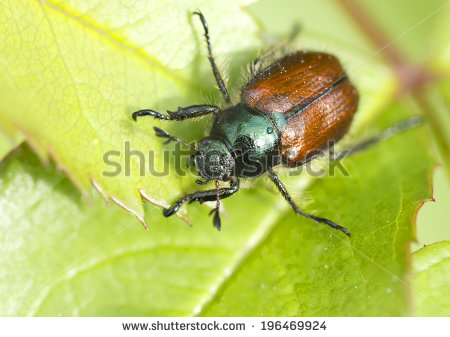 Chafer Beetle Stock Photos, Royalty.