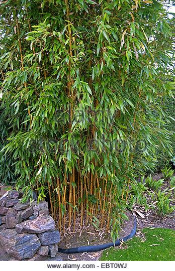 Bamboo Phyllostachys Aureosulcata Stock Photos & Bamboo.