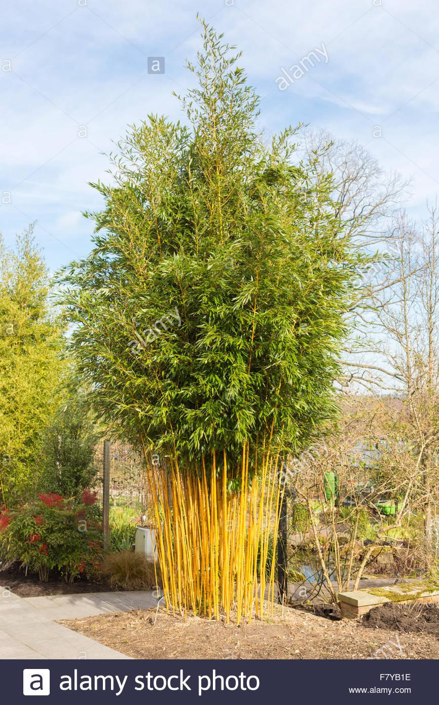 Golden Groove Bamboo (phyllostachys Aureosulcata F. Aureocaulis.