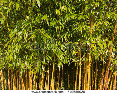 Clumping Bamboo Stock Photos, Royalty.