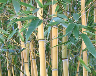 Live bamboo plants for your home and garden. by MayaGardensInc.