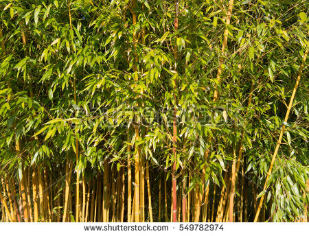 Phyllostachys Stock Photos, Royalty.