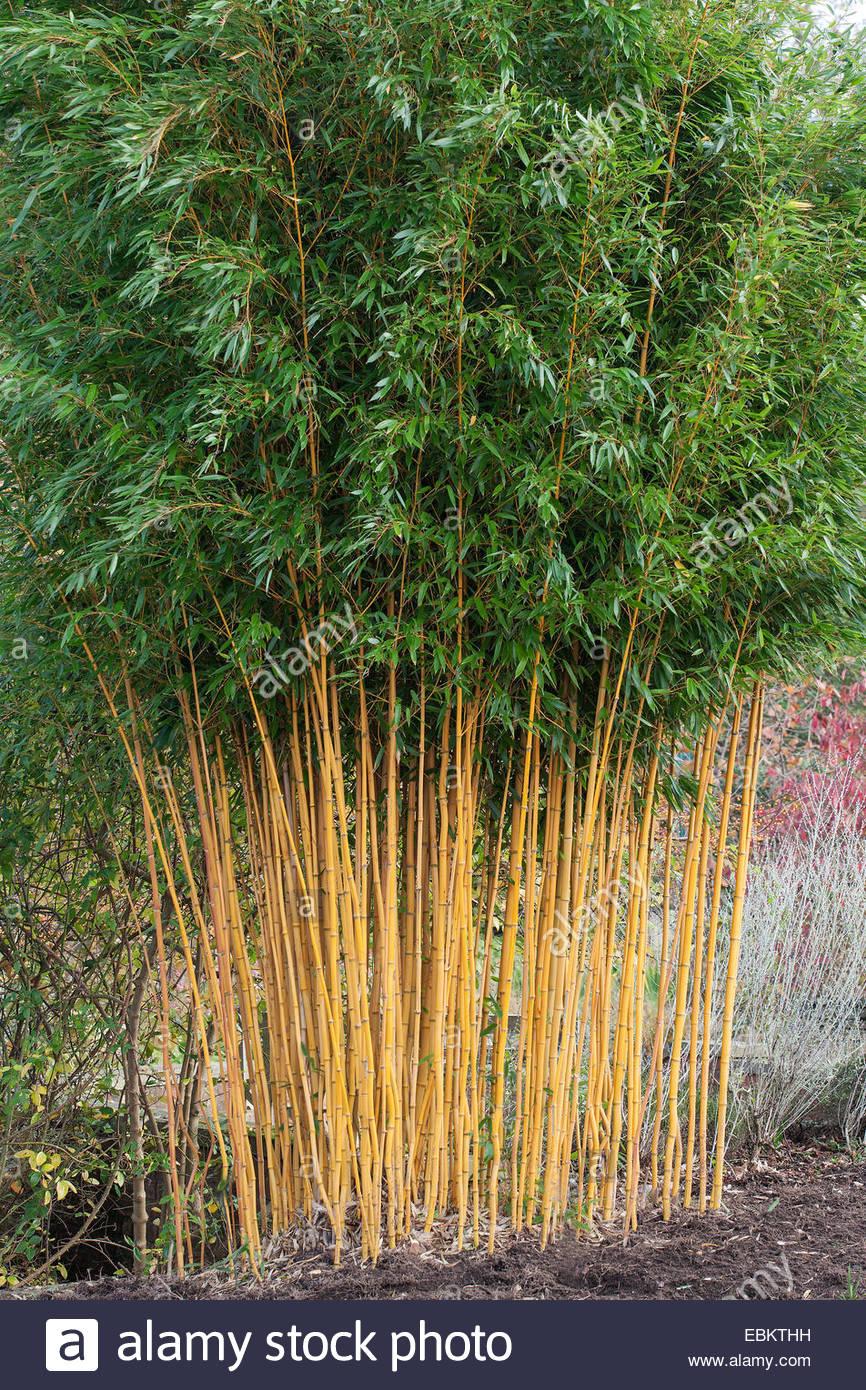 Phyllostachys Aureosulcata Stock Photos & Phyllostachys.