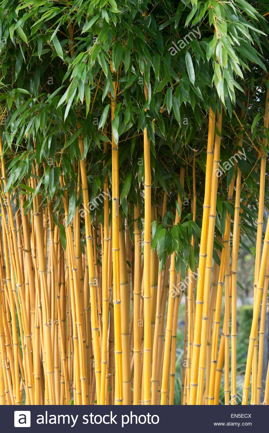 Phyllostachys Aureosulcata Aureocaulis. Yellow Stem Bamboo Stock.