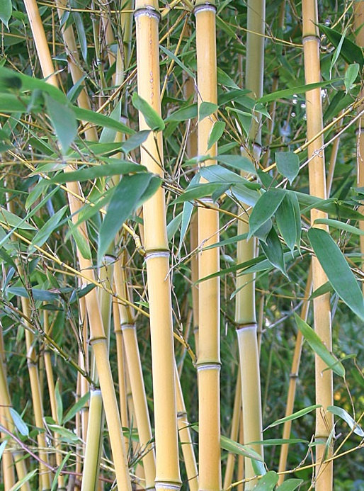 Giant Timber Bamboo Plant Cold Hardy to 15ºf Phyllostachys.