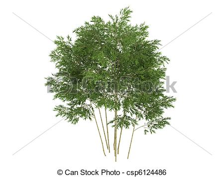 Drawings of Golden fishpole bamboo or Phyllostachys aurea.