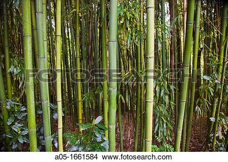 Stock Photo of Bamboo Phyllostachys sp., Royal Golf Club of San.