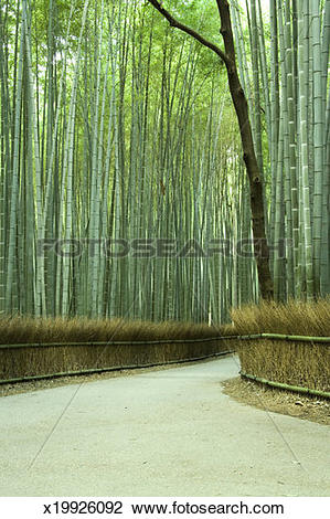 Stock Photo of Avenue of Bamboo trees (Phyllostachys Bambusoides.