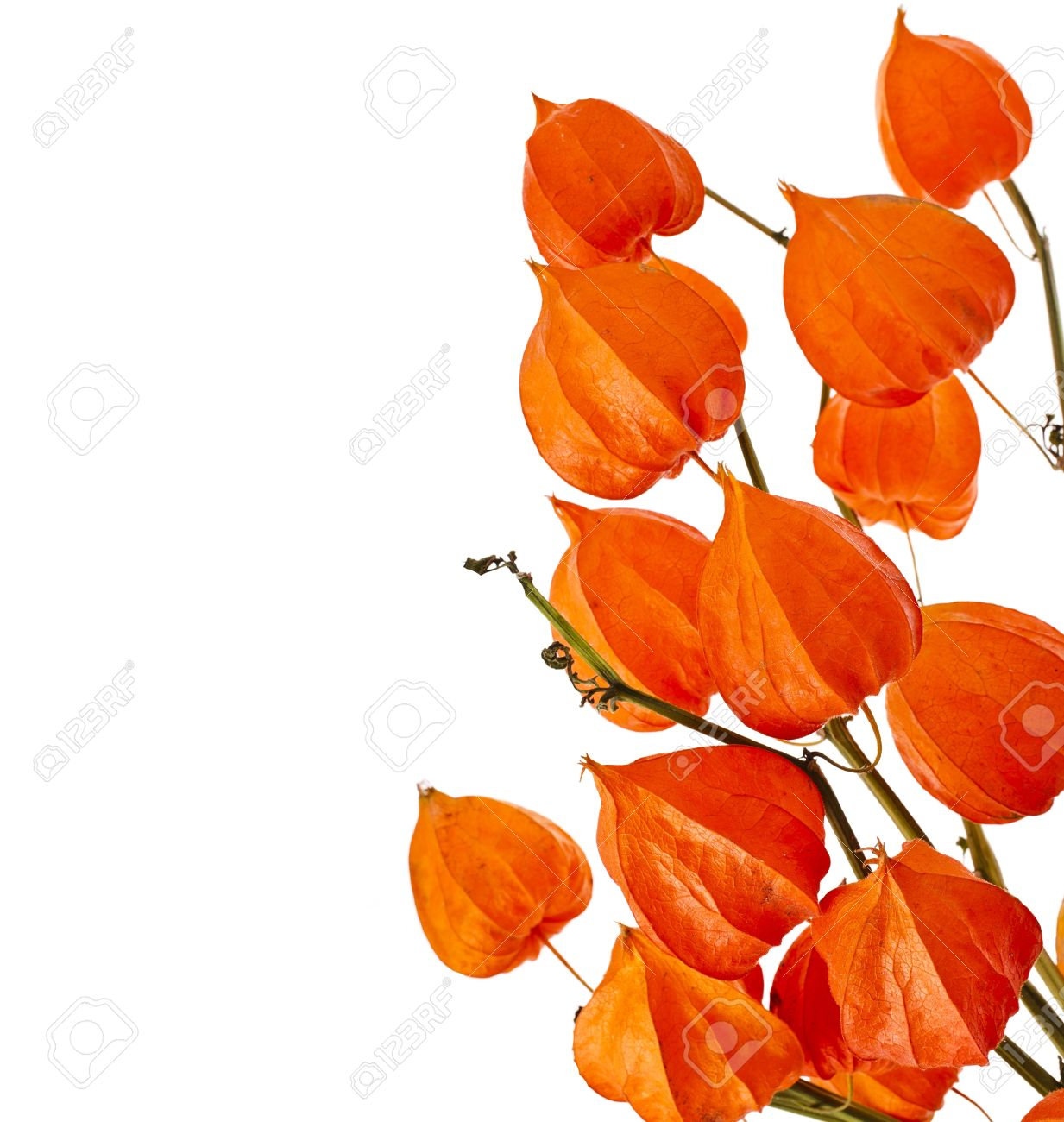 Border Of Orange Inflorescence Physalis Alkekengi (Chinese Lantern.