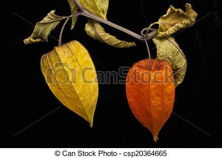 Stock Image of Chinese Lantern plant Physalis alkekengi. Poignant.