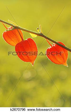 Stock Images of Chinese Lanterns, Physalis alkekengi k2670796.