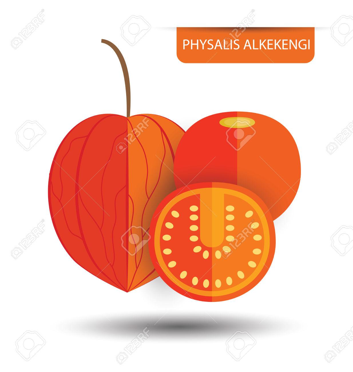 Physalis Alkekengi, Physalis Fruit Vector Illustration Royalty.