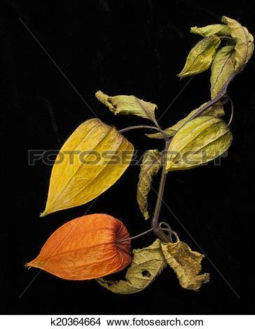 Stock Photo of Chinese Lantern plant Physalis alkekengi k20364664.