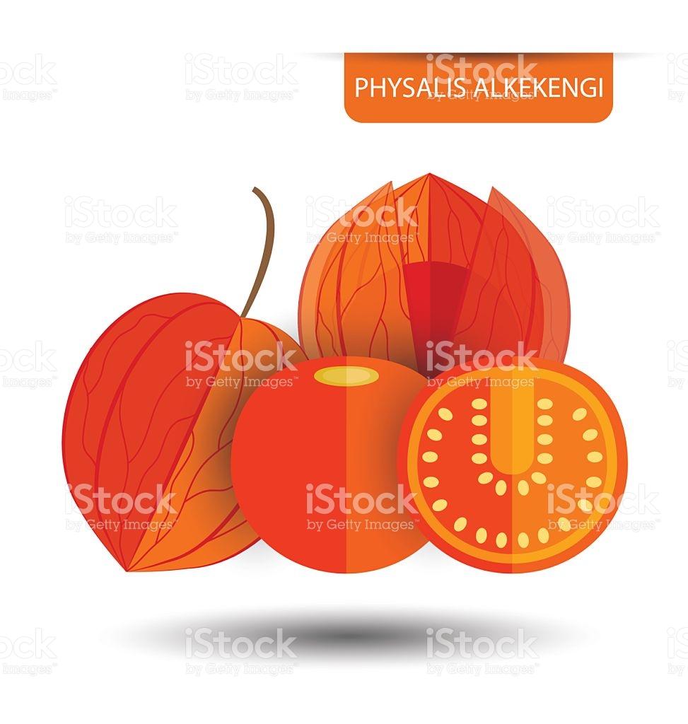 Physalis Alkekengi Physalis Fruit Vector Illustration stock vector.