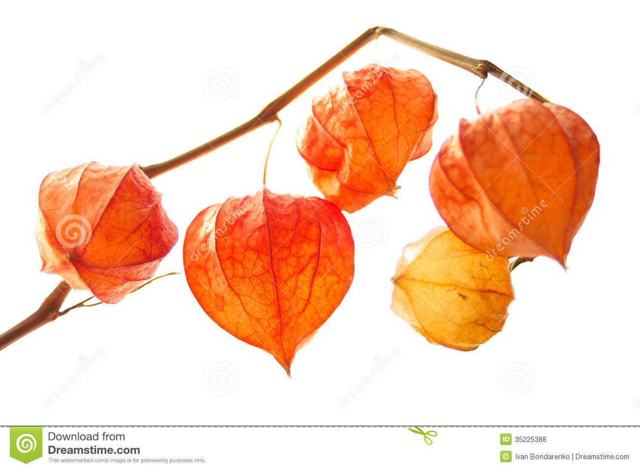 Decorative Orange Physalis Berries Royalty Free Stock Photos.