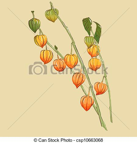 Physalis Illustrations and Clip Art. 137 Physalis royalty free.