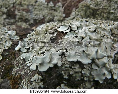 Stock Photo of Foliose lichen squamulose (Parmelia pastillifera et.