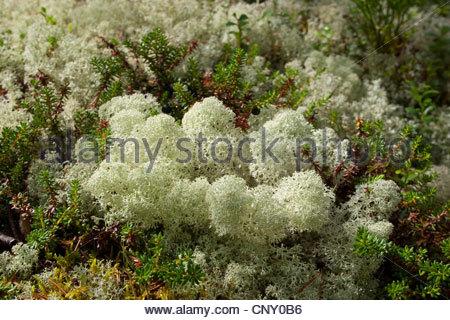 Cup Lichen (cladonia Stellaris), Cup Lichen With Bearberry, Norway.