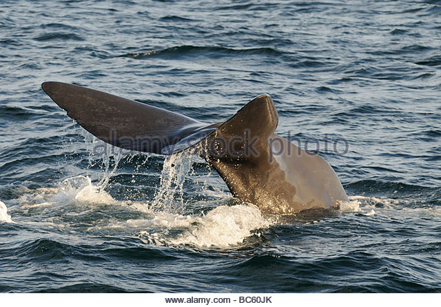 The Squid And Whale Stock Photos & The Squid And Whale Stock.