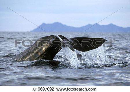 Stock Photo of Sperm Whale (Physeter macrocephalus) Adult fluke.