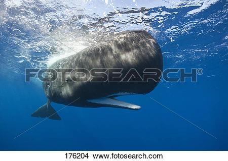 Stock Photo of Sperm Whale (Physeter macrocephalus, Physeter.