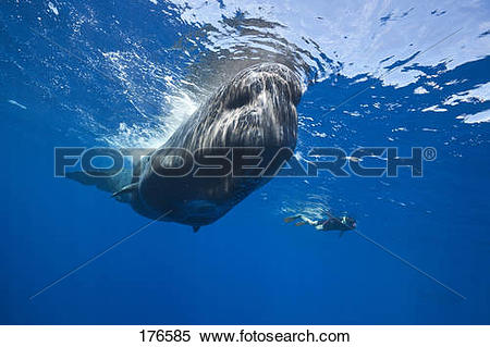 Stock Image of Sperm Whale (Physeter macrocephalus, Physeter.