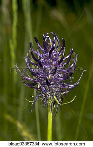 "Stock Photo of ""Blossoming Black Rampion (Phyteuma nigrum."