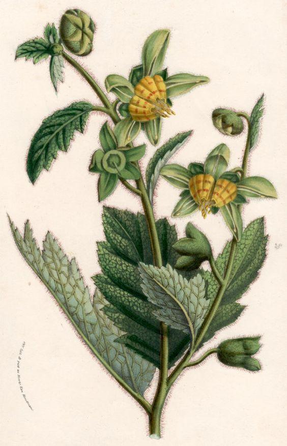 1855 Botanical Print, Tropical Plant Illustration, Loasa, Nasa.