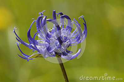 Round Headed Rampion Stock Photo.