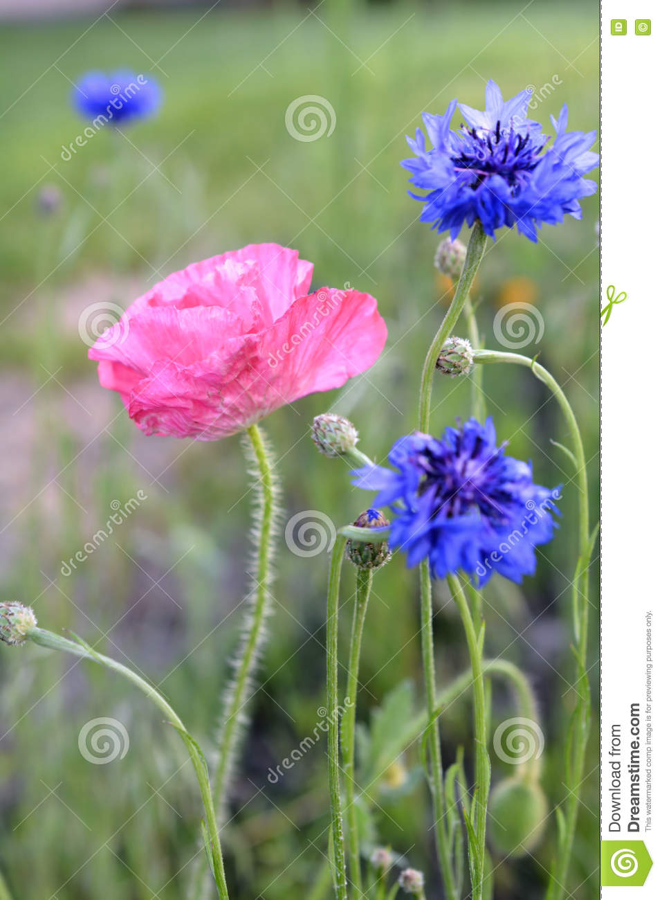Phyteuma Orbiculare Wildflowers And Pink Poppy Stock Photo.