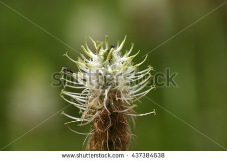 Withered Flower Milkthistle Silybum Marianum Summer Stock Photo.