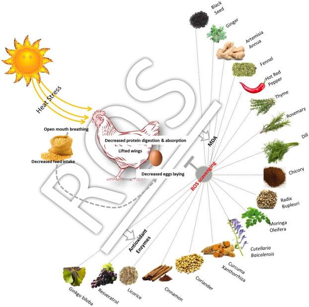 Herbs as thermoregulatory agents in poultry: An overview.