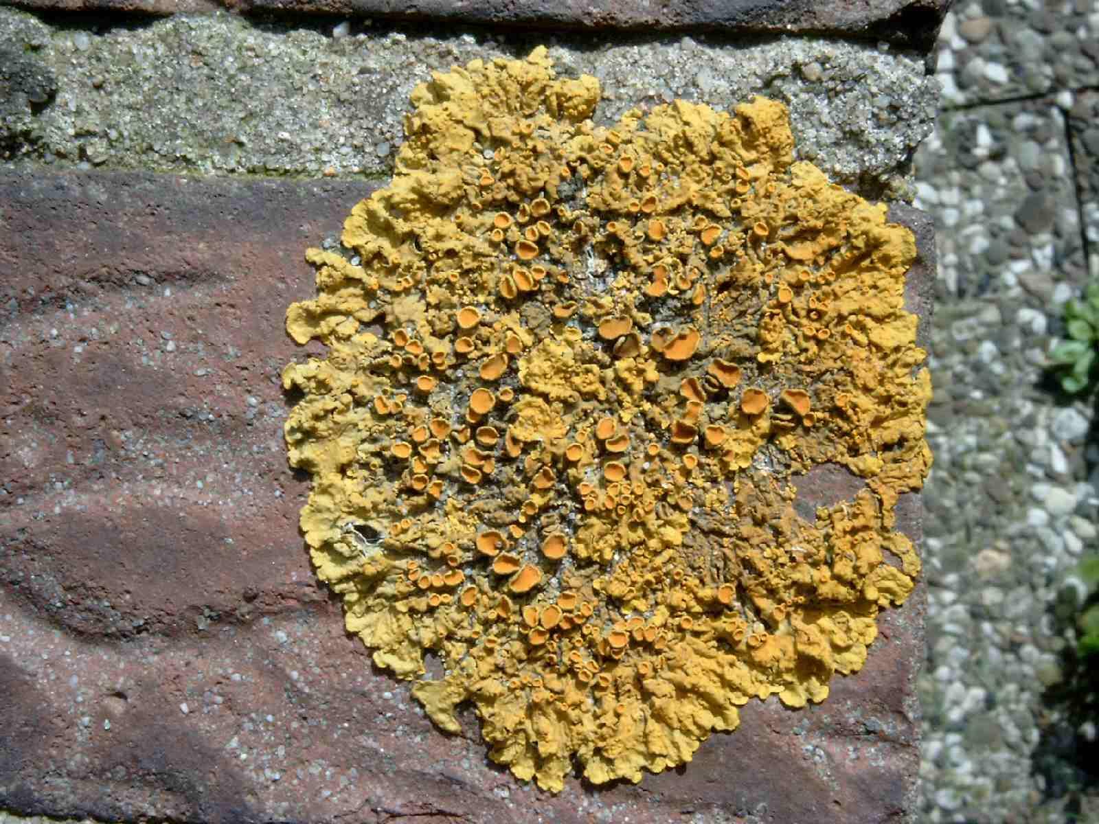 Lichenes.