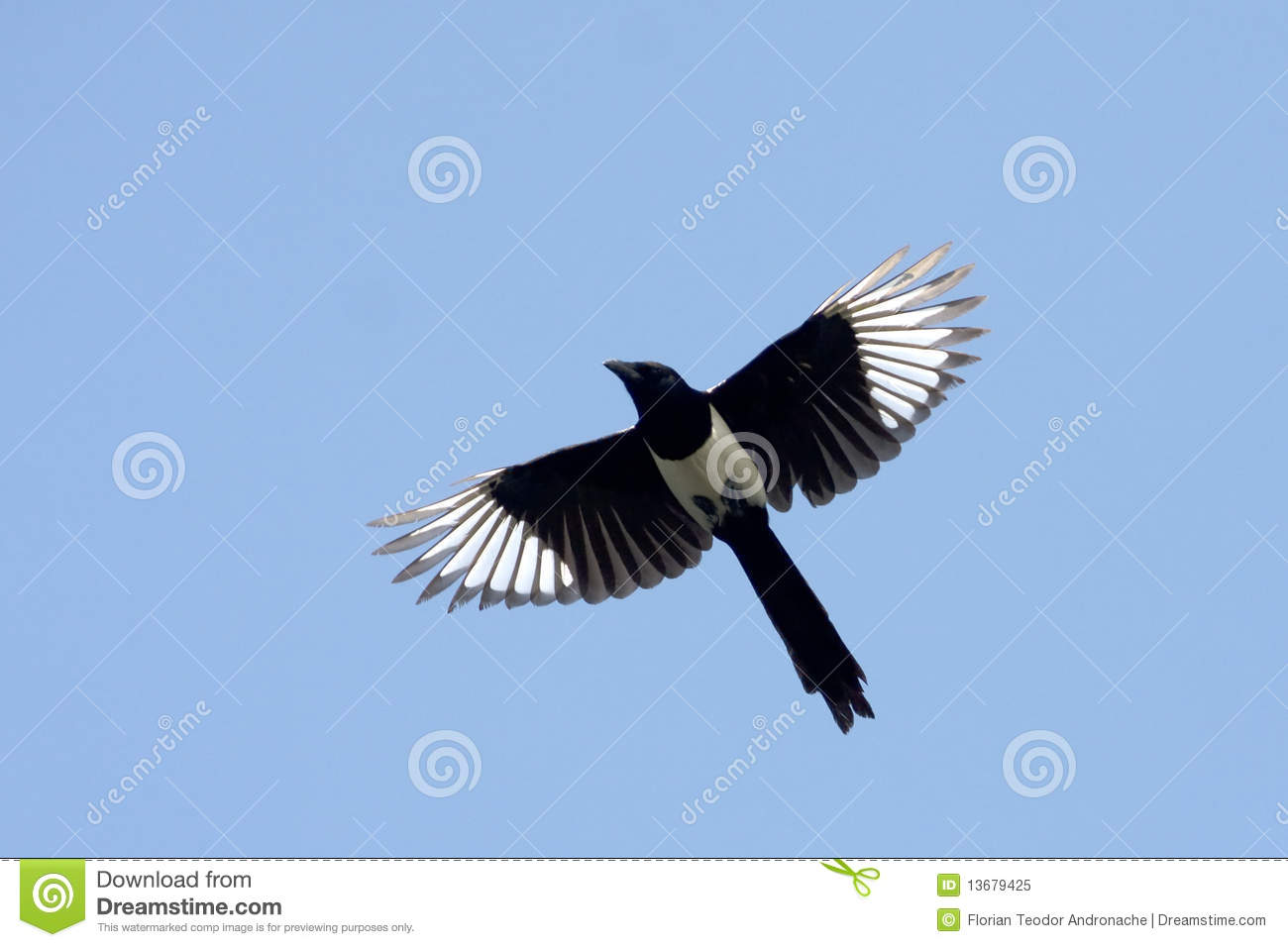 Magpie ( Pica Pica) Royalty Free Stock Photo.