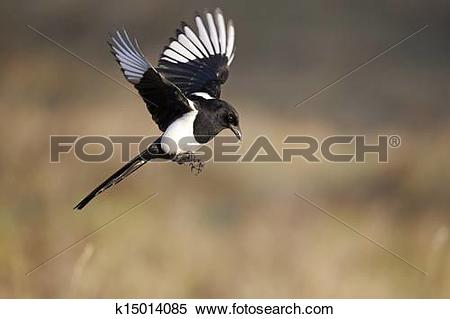 Stock Image of Magpie, Pica pica k15014085.