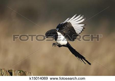 Stock Photograph of Magpie, Pica pica k15014069.
