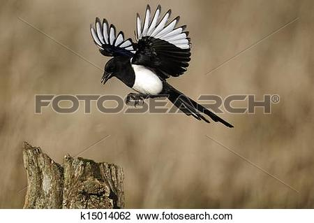 Stock Photo of Magpie, Pica pica k15014062.
