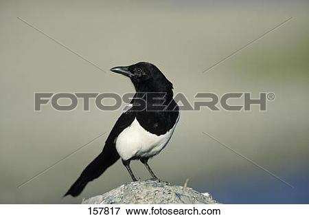 Picture of European Magpie / Pica pica 157817.