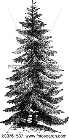 Clip Art of Norway Spruce or Picea abies vintage engraving.