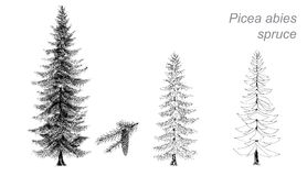Picea Stock Illustrations.