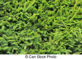 Stock Photo of Norway Spruce (Picea abies) Shoots.
