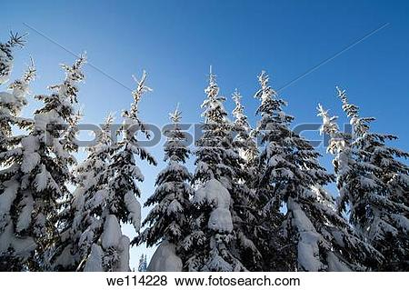 Pictures of Spruce , picea abies , trees at Winter we114228.