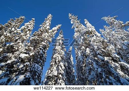 Picture of Spruce , picea abies , trees at Winter we114227.