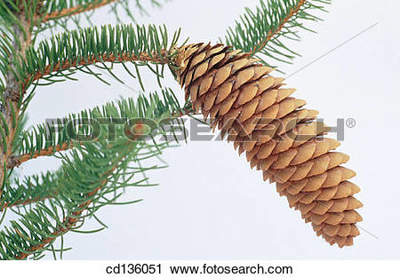 Stock Photography of Norway Spruce (Picea abies) cd136051.