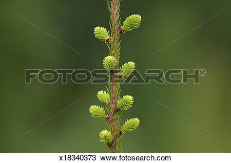 Stock Photo of Norway Spruce (Picea abies), close.